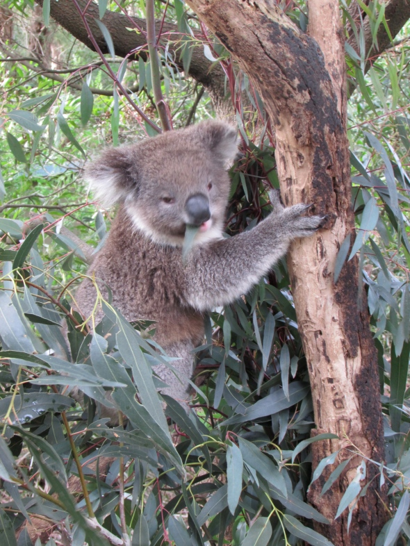 Meeting my first koalas in Australia